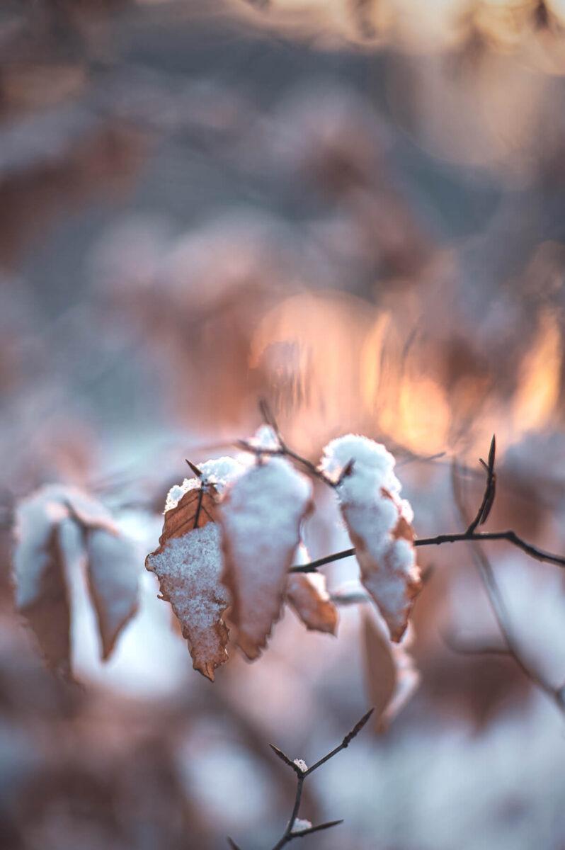 Blätter im Morgenlicht mit Schnee